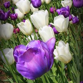 Tulips in Purple and White by Dora Sofia Caputo Photographic Design and Fine Art