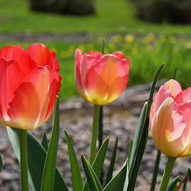 Tulips Red Pink Tulip Flowers Art Prints by Baslee Troutman