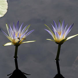 Twin Blue Egyptian Lotus Waterlilies and Dragonfly by Byron Varvarigos