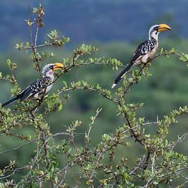 Beth Wolff - Two African Hornbill birds