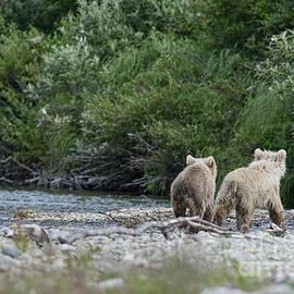 Two Brown Bear Cubs Walking Away by Dan Friend