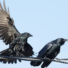 Two Crows on a wire by Bradford Martin