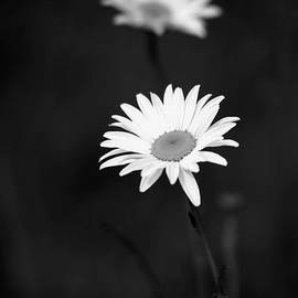 Two Daisies in Black and White by Sabrina L Ryan