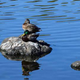Two Mallard Ducks by Michele Avanti