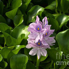 Unmanageable Beauty The Water Hyacinth by Byron Varvarigos
