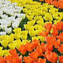 Kathy Yates - Variety of Tulips