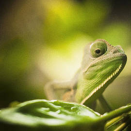 Bradley R Youngberg - Veiled Chameleon Is Watching You