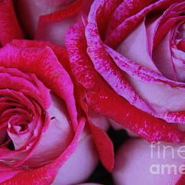 Dora Sofia Caputo Photographic Design and Fine Art - Velvet Roses
