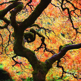 Debra Orlean - Vibrant Japanese Maple Tree