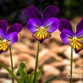 Viola Tricolor by Robert Bales