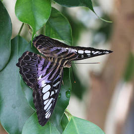 Judy Whitton - Violet Clipper Butterfly