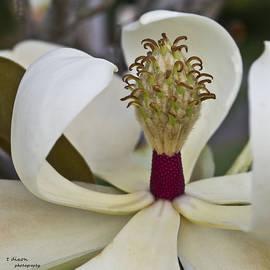 Virginia's Magnolia by Teresa Dixon