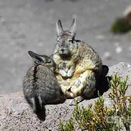 Viscacha Love