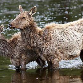 Bill Keiran - Wading Elk YNP