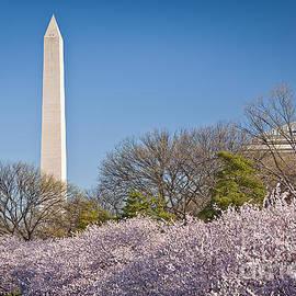 Washington Cherries by Susan Cole Kelly