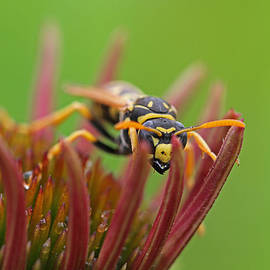 Wasp  by Juergen Roth