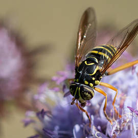 Jivko Nakev - Wasp mimicking syrphid fly