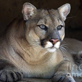 Watchful Cougar by John Van Decker