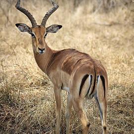 Watchful Impala by Kim Andelkovic