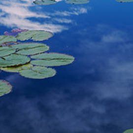 Water Lilies In A Pond, Denver Botanic