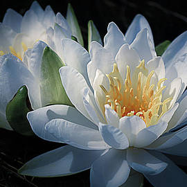 Water Lilies in White by Julie Palencia