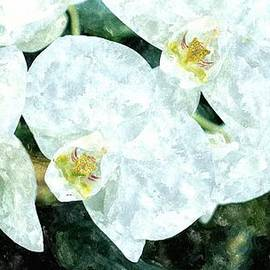 Rosemarie E Seppala - Watercolor Of Exotic White Orchids