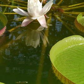 Christiane Schulze Art And Photography - Waterlily And Giant Leaves