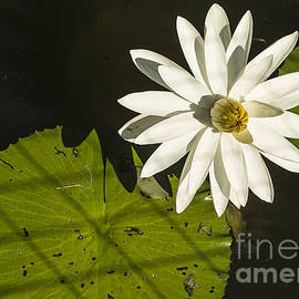 Waterlily Through A Fence by Terry Rowe