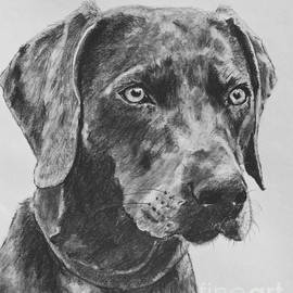 Weimaraner Drawn In Charcoal by Kate Sumners