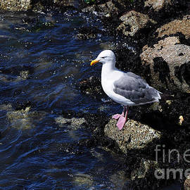 Susan Wiedmann - Western Gull on Rocks