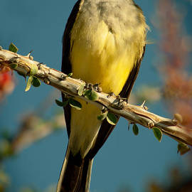 Western Kingbird by Robert Bales