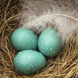 Wet Trio of Robins Eggs by Jean Noren