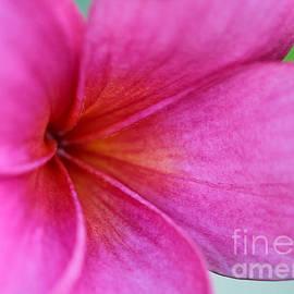 Whispering Pink Plumeria by Sabrina L Ryan