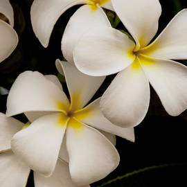 Brian Harig - White And Yellow Plumeria - Kauai Hawaii