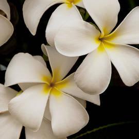 White And Yellow Plumeria - Kauai Hawaii by Brian Harig