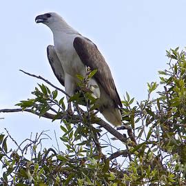 Venetia Featherstone-Witty - White Bellied Sea Eagle
