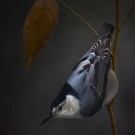 Ron Jones - White Breasted Nuthatch