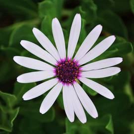 Marcus Dagan - White Daisy In Hamilton Bermuda