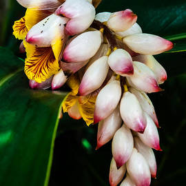 white Ginger flowers by Craig Lapsley