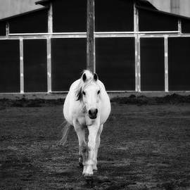 White Horse Walking by Jacque The Muse Photography
