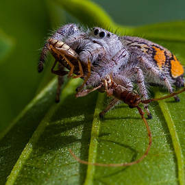 White Jumping Spider With Prey by Craig Lapsley
