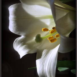 White Lily by Kay Novy