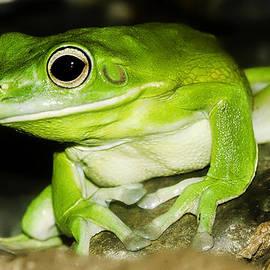 White-lipped Tree Frog by Mr Bennett Kent