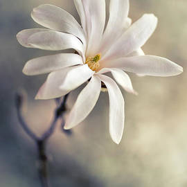 White magnolia stellata by Jaroslaw Blaminsky