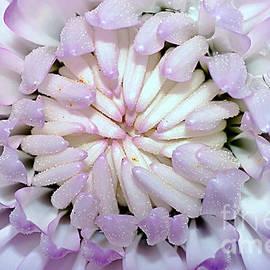 White Mauve Miniature Dahlia - Close up