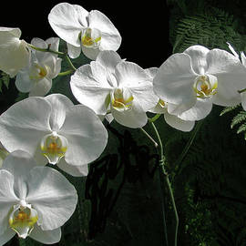 Mother Nature - White Moth Orchid Phalaenopsis and Ferns