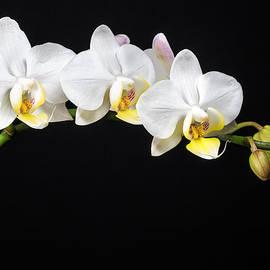 White Orchids by Adam Romanowicz