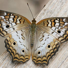 White Peacock Butterfly by Judy Whitton