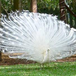 Denise Mazzocco - White Peacock