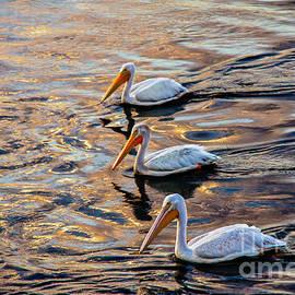 White Pelicans  In Golden Water by Robert Bales